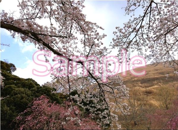 静岡伊豆の桜 花景色オリジナル写真集 46P 壁紙クリップアート素材 [著作権フリー]_画像2
