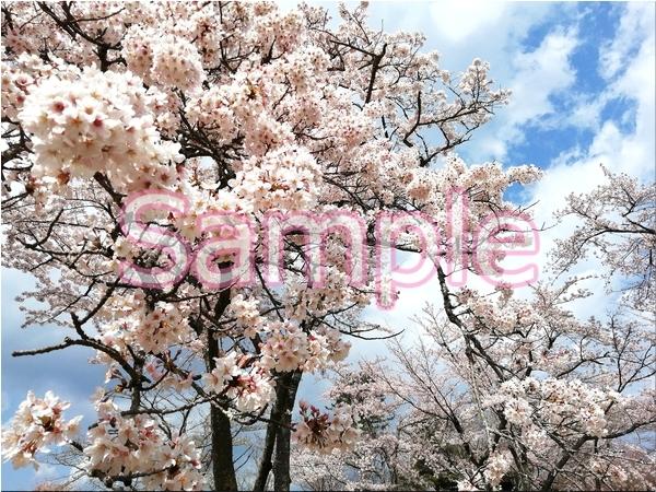 静岡伊豆の桜 花景色オリジナル写真集 46P 壁紙クリップアート素材 [著作権フリー]_画像1
