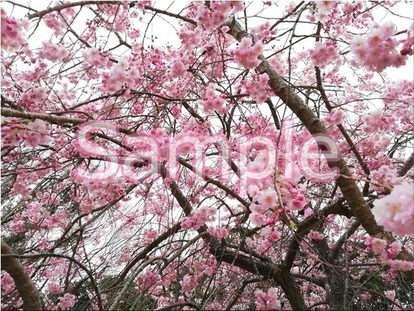静岡伊豆の桜 花景色オリジナル写真集 46P 壁紙クリップアート素材 [著作権フリー]_画像3
