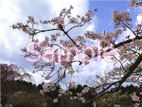 静岡伊豆の桜 花景色オリジナル写真集 46P 壁紙クリップアート素材 [著作権フリー]_画像7