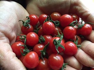 ★美味しいミニトマト 2kg 小粒S以下混合 訳ありです 2★_画像2