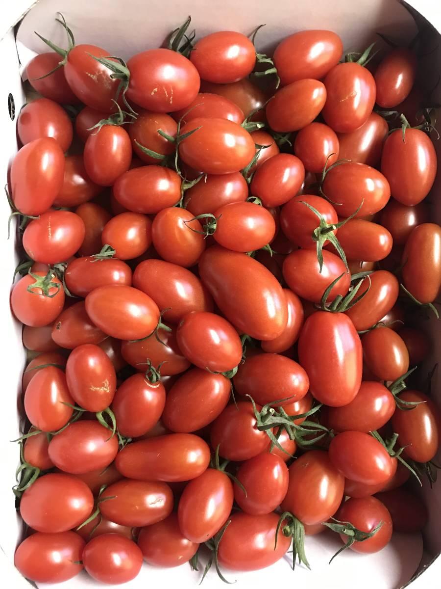 ★あまいミニトマト(アイコ) 2kg 大小サイズ混合 訳あり品です 02★_画像1