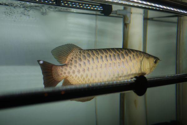 光鉛龍灯 アロワナ プレミアムゴールド LED 2列 大型水槽 水中照明 ライト アクアリウム 熱帯魚 金龍 120cm水槽用 でんらい AG-120EX_画像9
