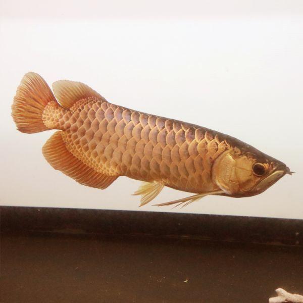 アウトレット 在庫一掃 アロワナ ライト 幻の逸品 ゴールド×レッド 大型水槽 水中照明 LED 1列 熱帯魚 金龍 120cm水槽用 でんらい GR-120_画像5