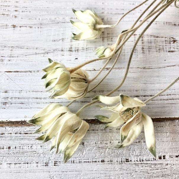 フランネルフラワー ロング50cm 3本セット ドライフラワー花材 ハーバリウム リース スワッグ ボタニカルキャンドルなど 星月猫_画像1