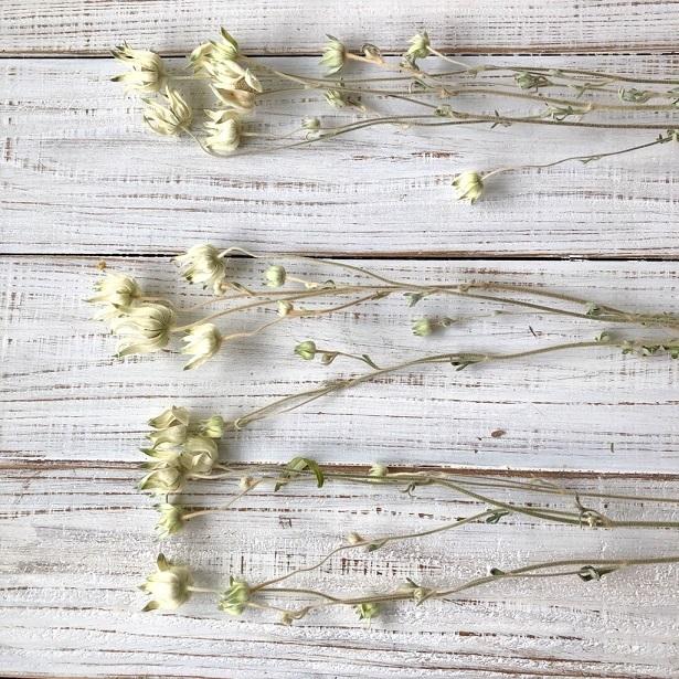 フランネルフラワー ロング50cm 3本セット ドライフラワー花材 ハーバリウム リース スワッグ ボタニカルキャンドルなど 星月猫_画像5