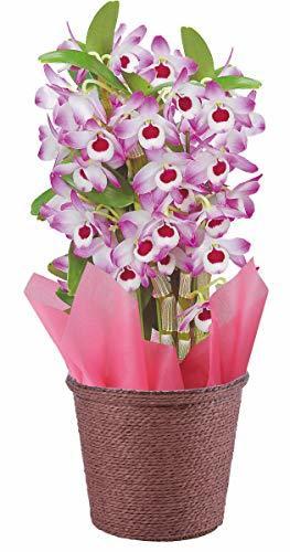 花のギフト社(Hana No Gift Sha) 4号鉢 花のギフト社 デンドロビューム 洋蘭 鉢花 鉢植え 花鉢 花 プレゼント_画像1
