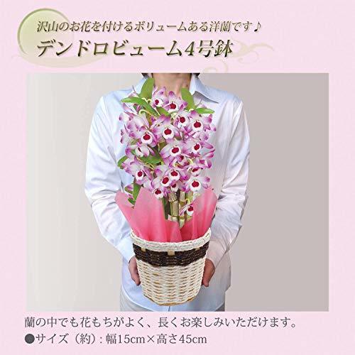 花のギフト社(Hana No Gift Sha) 4号鉢 花のギフト社 デンドロビューム 洋蘭 鉢花 鉢植え 花鉢 花 プレゼント_画像3