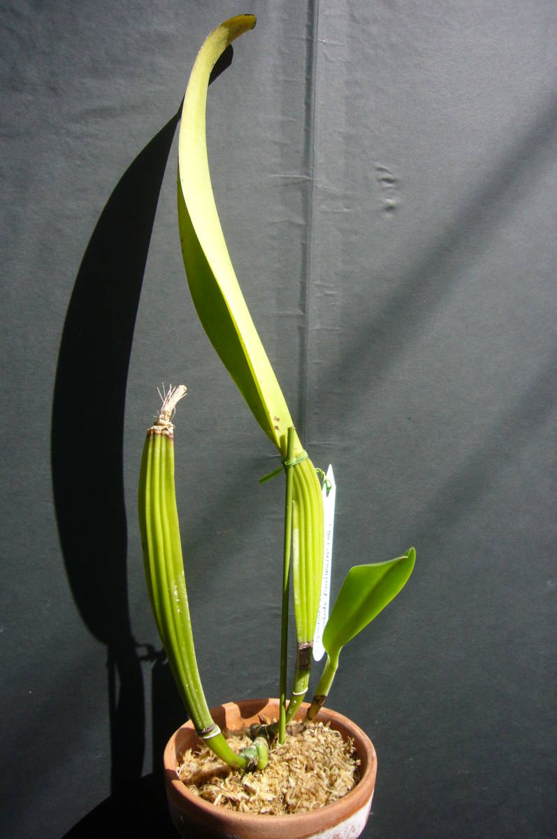洋蘭原種 C.trianae fma.coerulea pincelada 'Azul Wain' (OG) flamea整形個体_画像2