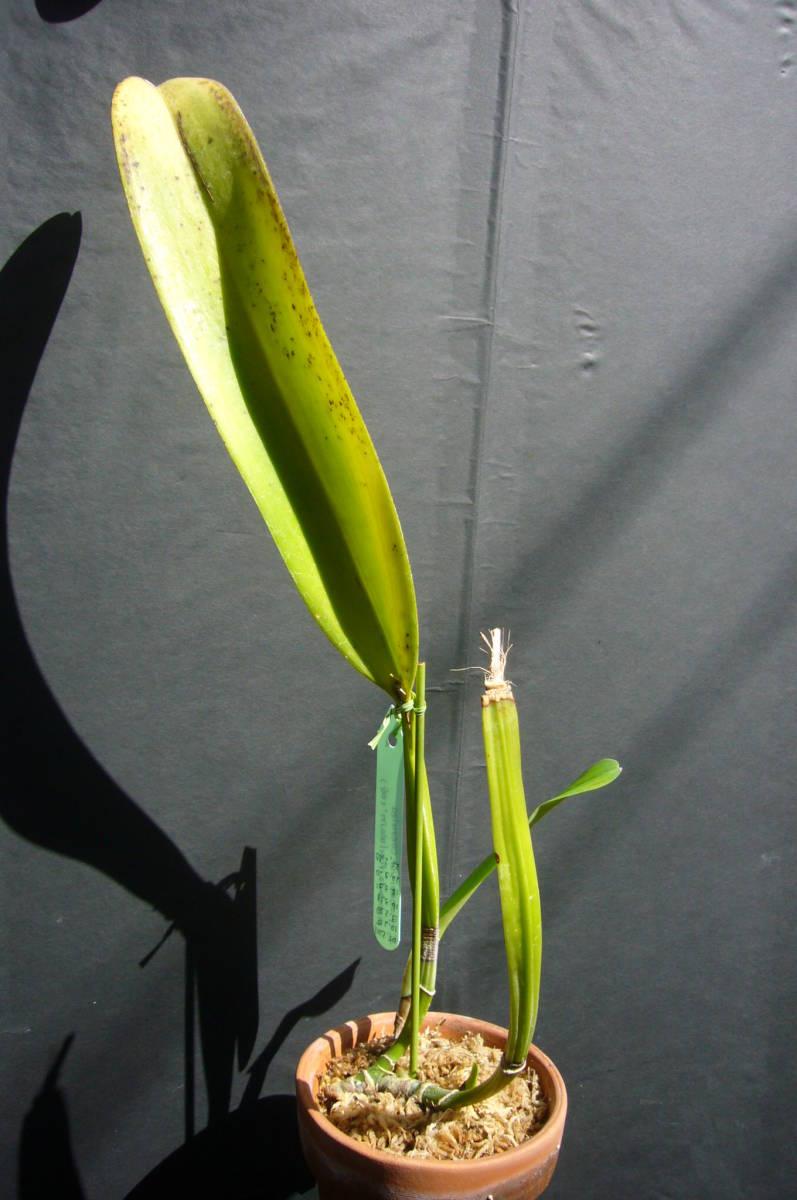 洋蘭原種 C.trianae fma.coerulea pincelada 'Azul Wain' (OG) flamea整形個体_画像3