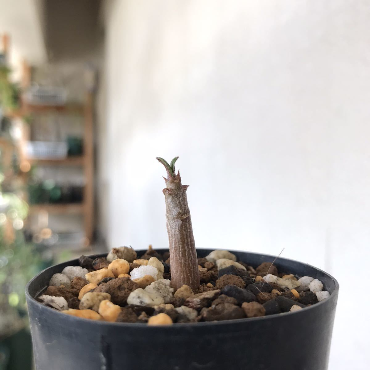 【パキ】Pachypodium baronii var. windsorii パキポディウム・バロニー・ウィンゾリー