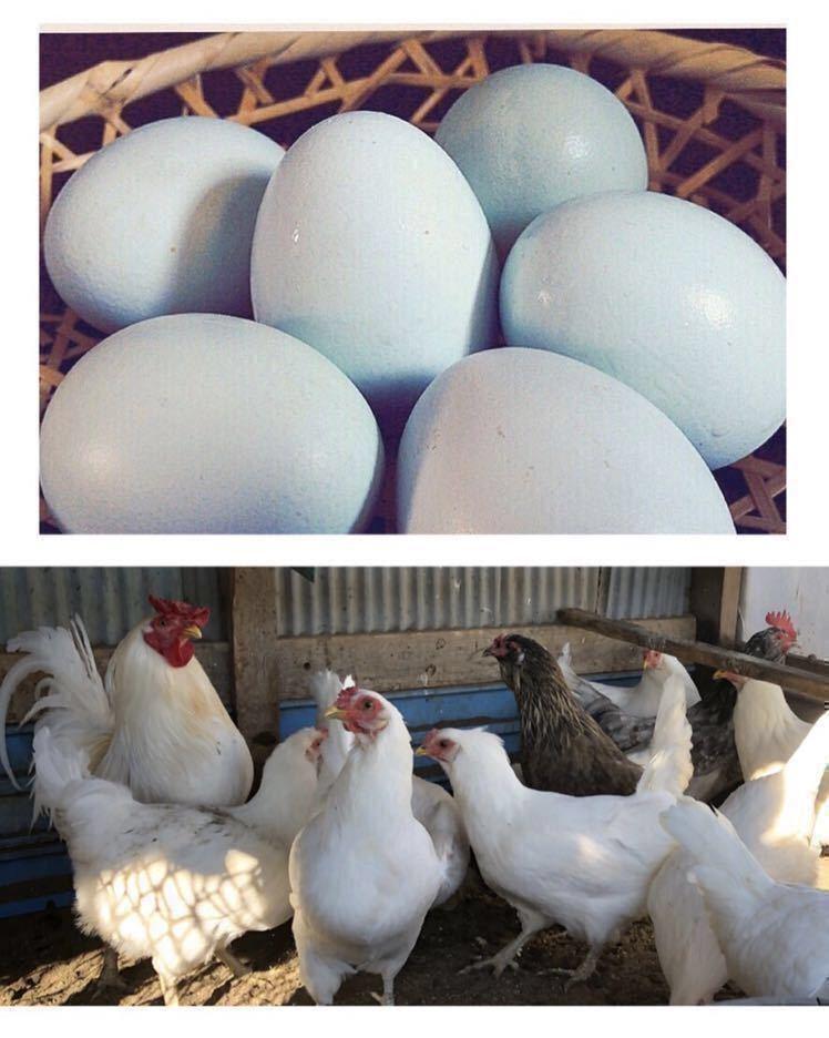 即決 アローカナ 有精卵 青い卵 6個 平飼い 鶏 卵_画像2