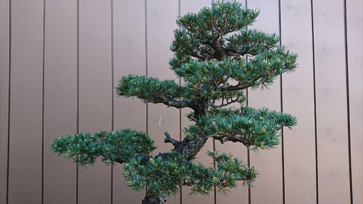 盆栽 五葉松 九重 樹高67cm_画像3