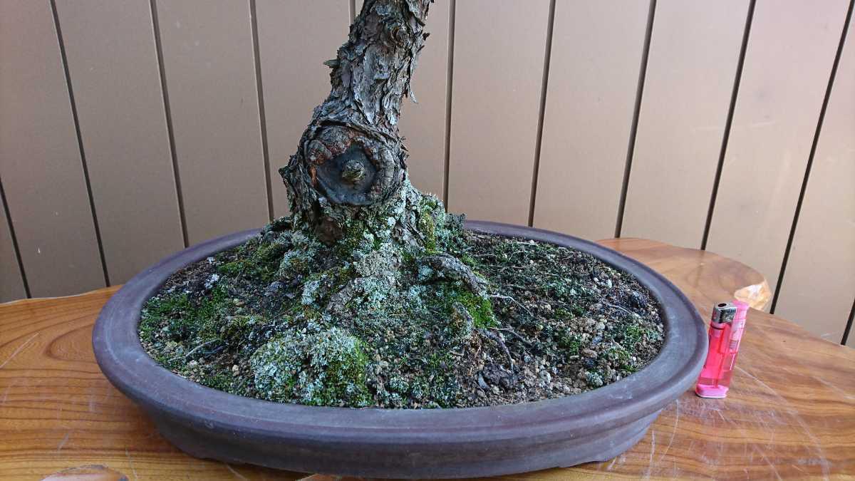 盆栽 五葉松 九重 樹高67cm_画像2