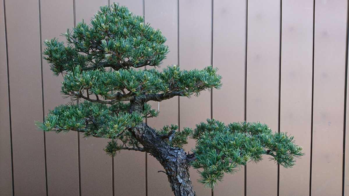 盆栽 五葉松 九重 樹高67cm_画像6