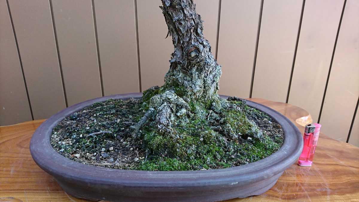 盆栽 五葉松 九重 樹高67cm_画像5