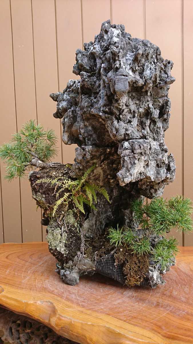 盆栽 五葉松 揖斐石 全高60cm_画像5