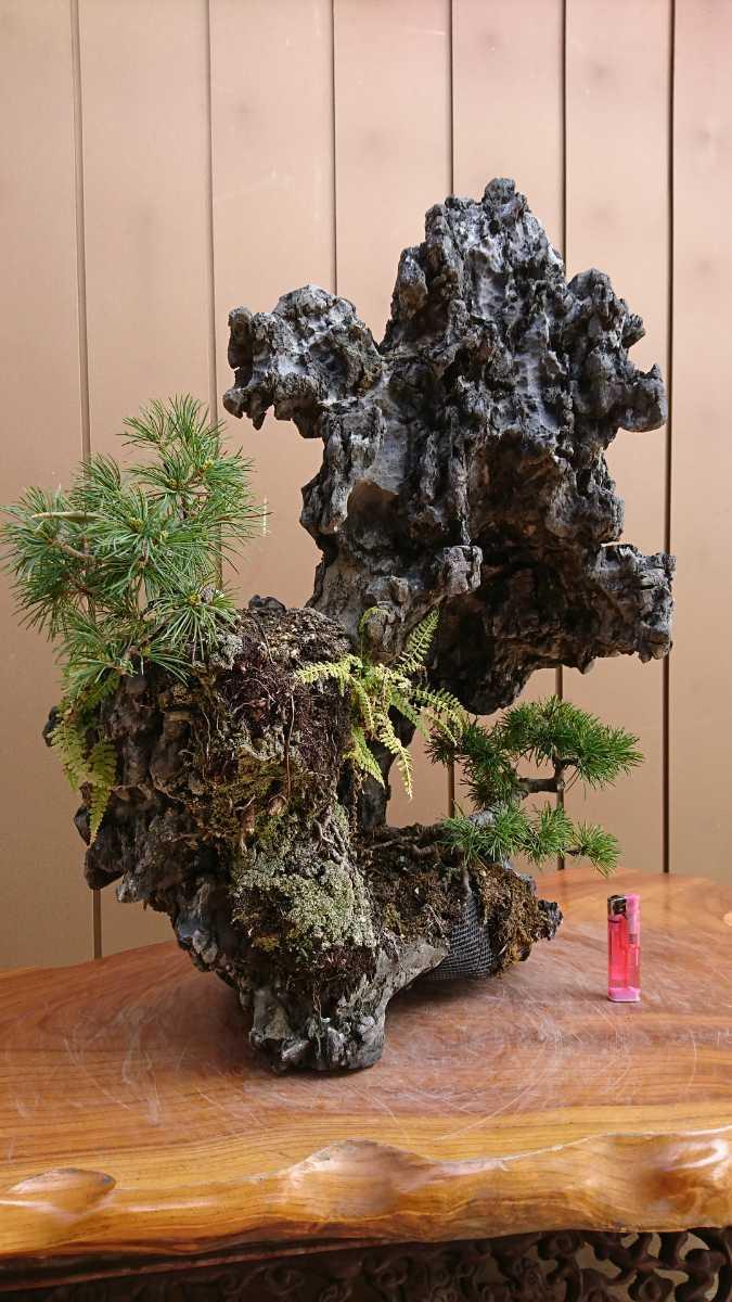 盆栽 五葉松 揖斐石 全高60cm_画像6