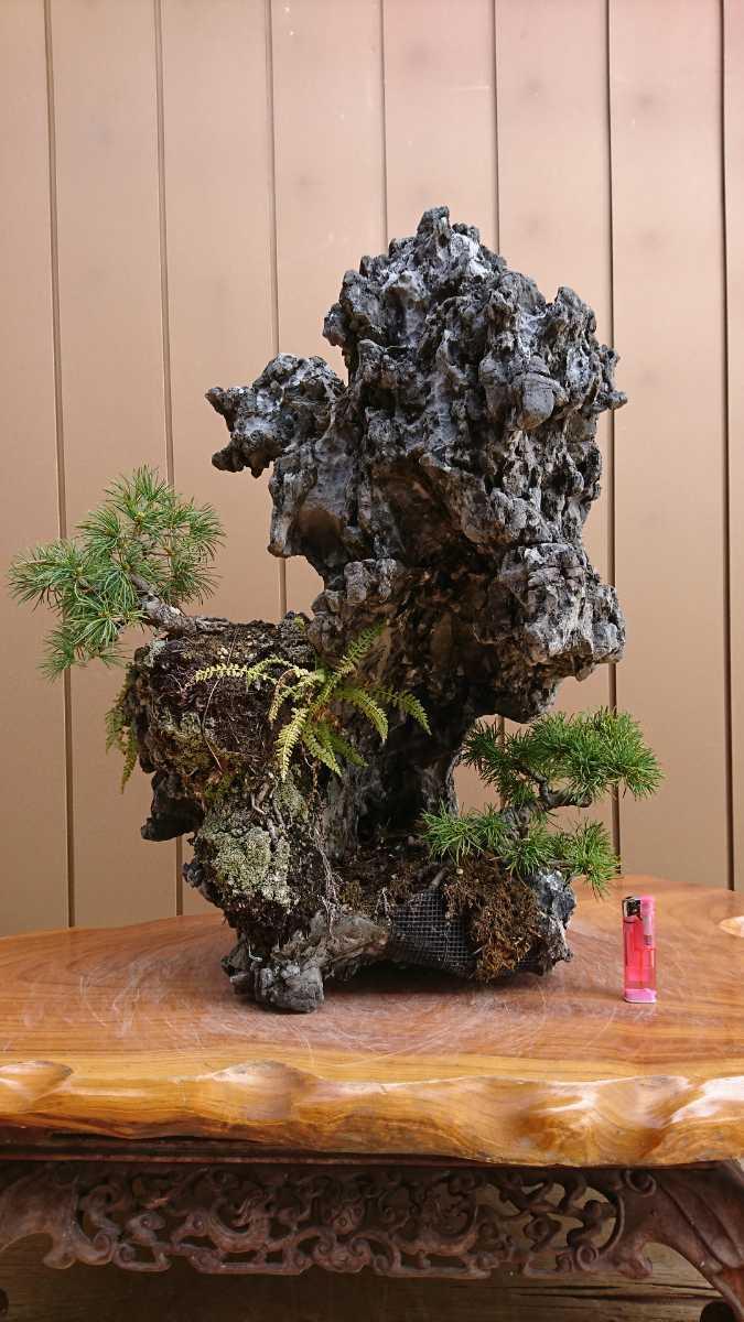 盆栽 五葉松 揖斐石 全高60cm_画像1