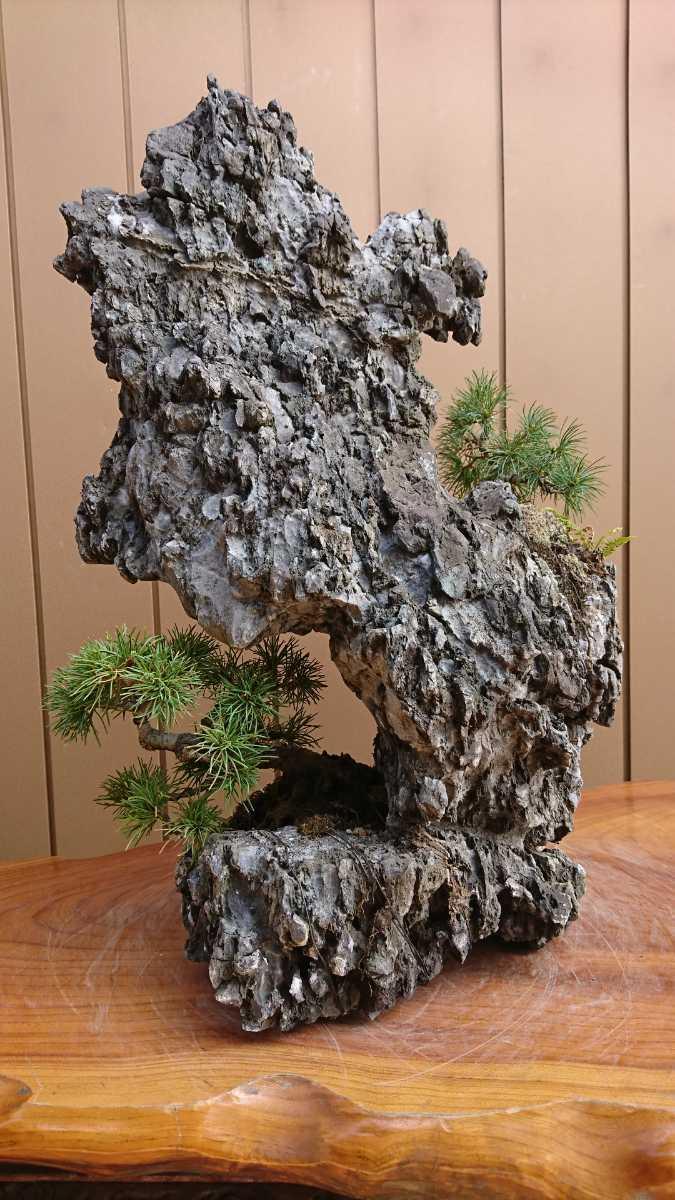 盆栽 五葉松 揖斐石 全高60cm_画像10