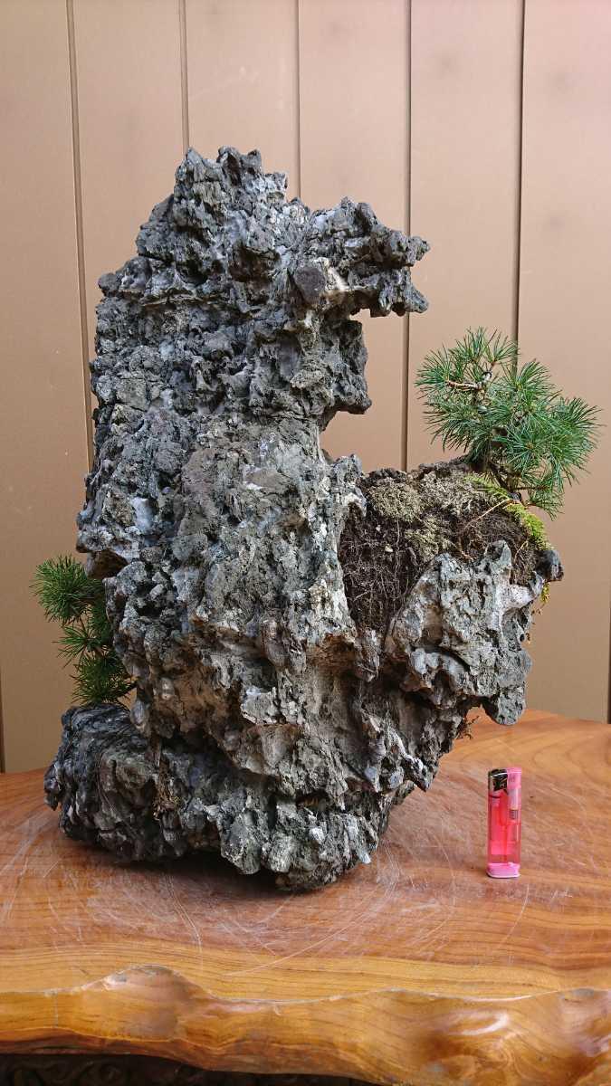 盆栽 五葉松 揖斐石 全高60cm_画像8