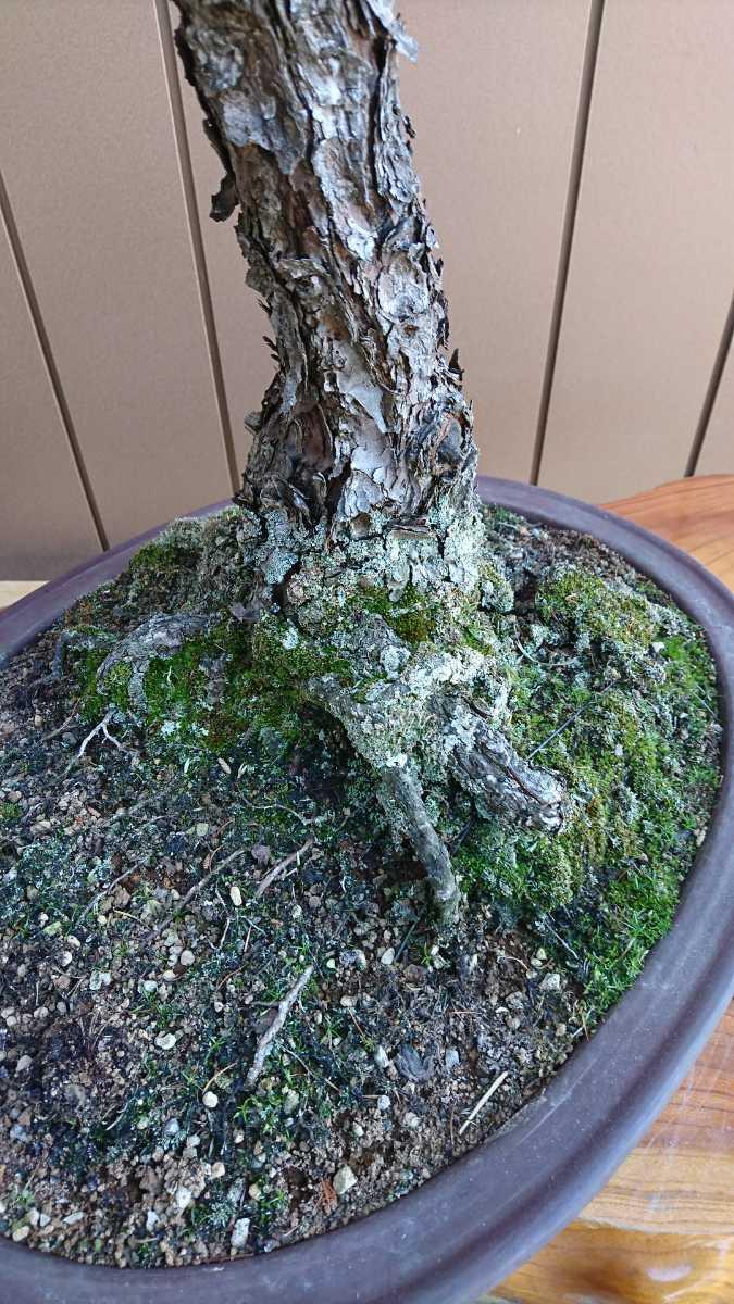 盆栽 五葉松 九重 樹高67cm_画像7