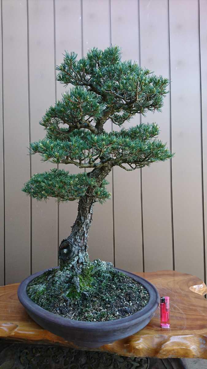 盆栽 五葉松 九重 樹高67cm_画像9