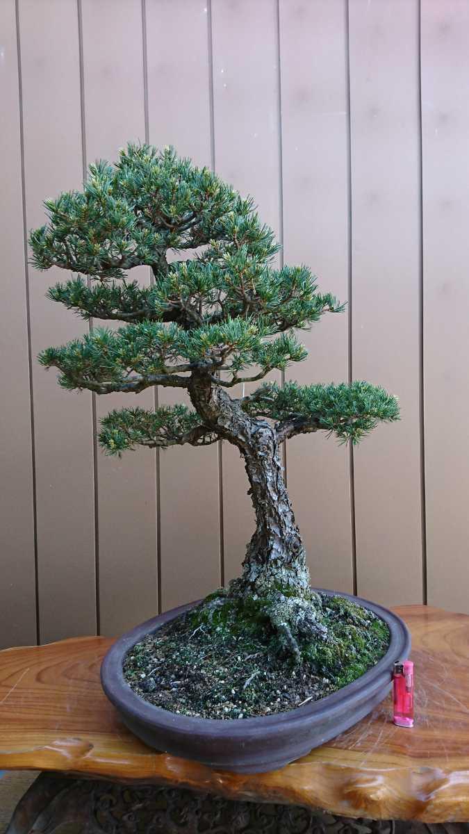 盆栽 五葉松 九重 樹高67cm_画像8