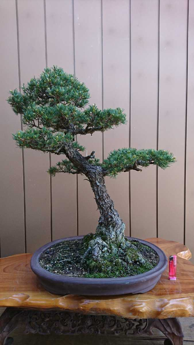 盆栽 五葉松 九重 樹高67cm_画像4