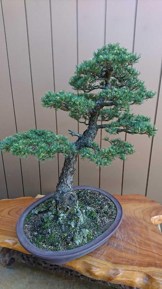 盆栽 五葉松 九重 樹高67cm_画像10