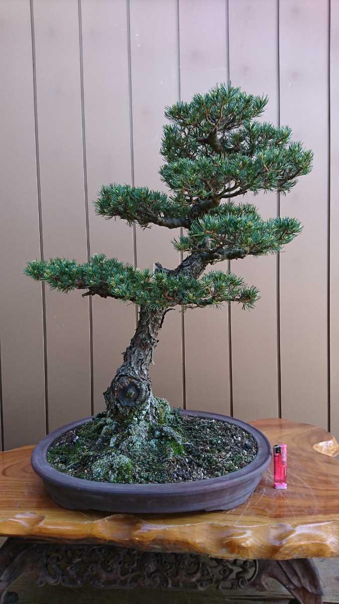 盆栽 五葉松 九重 樹高67cm_画像1