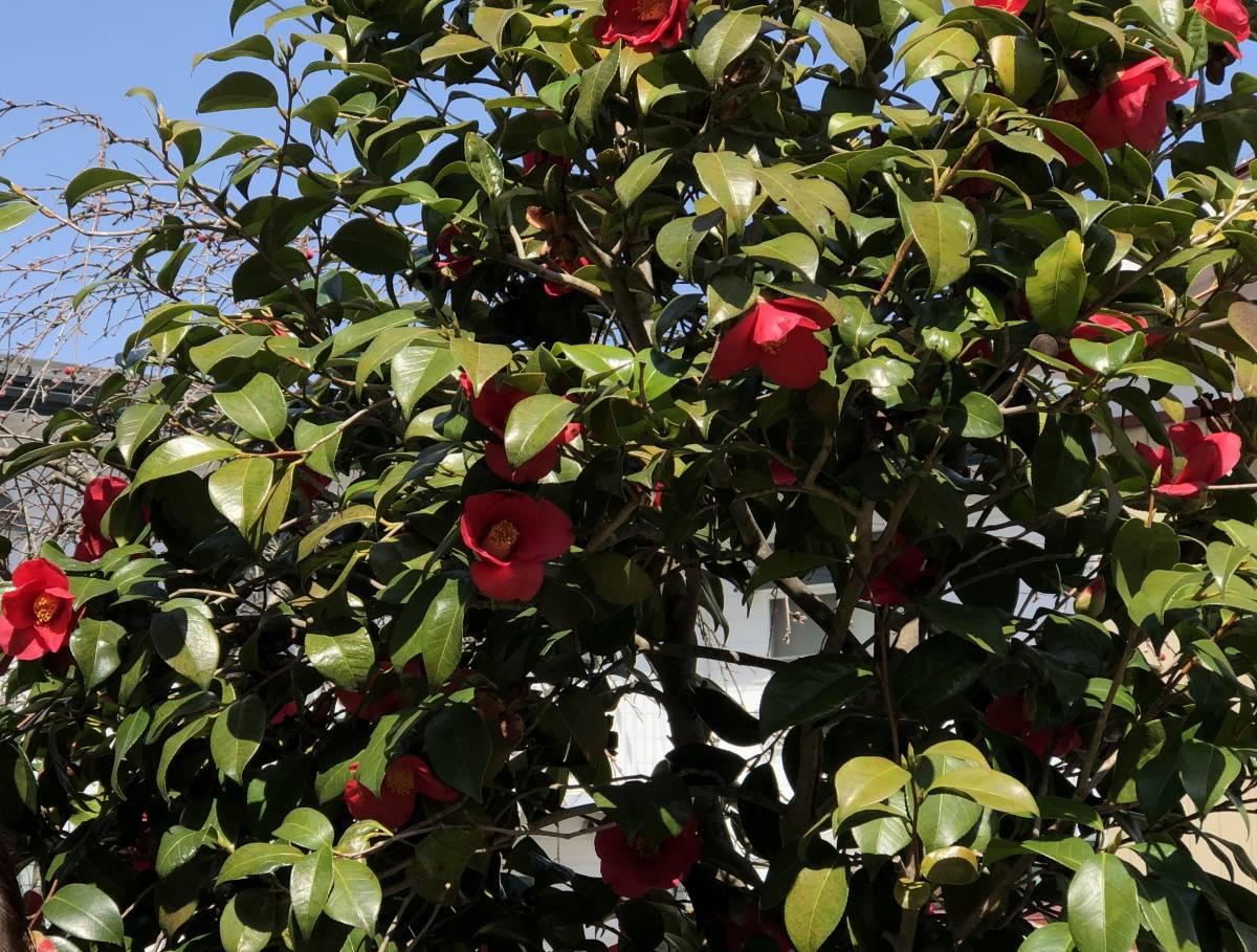 椿 抜き苗/根付き 挿し穂 5本 ■送料無料(ツバキ つばき 真っ赤)植木 庭木 赤 椿園で購入_画像8