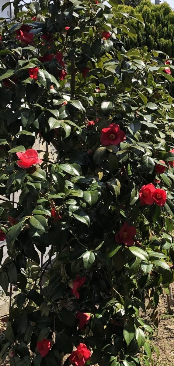 椿 抜き苗/根付き 挿し穂 5本 ■送料無料(ツバキ つばき 真っ赤)植木 庭木 赤 椿園で購入_画像7