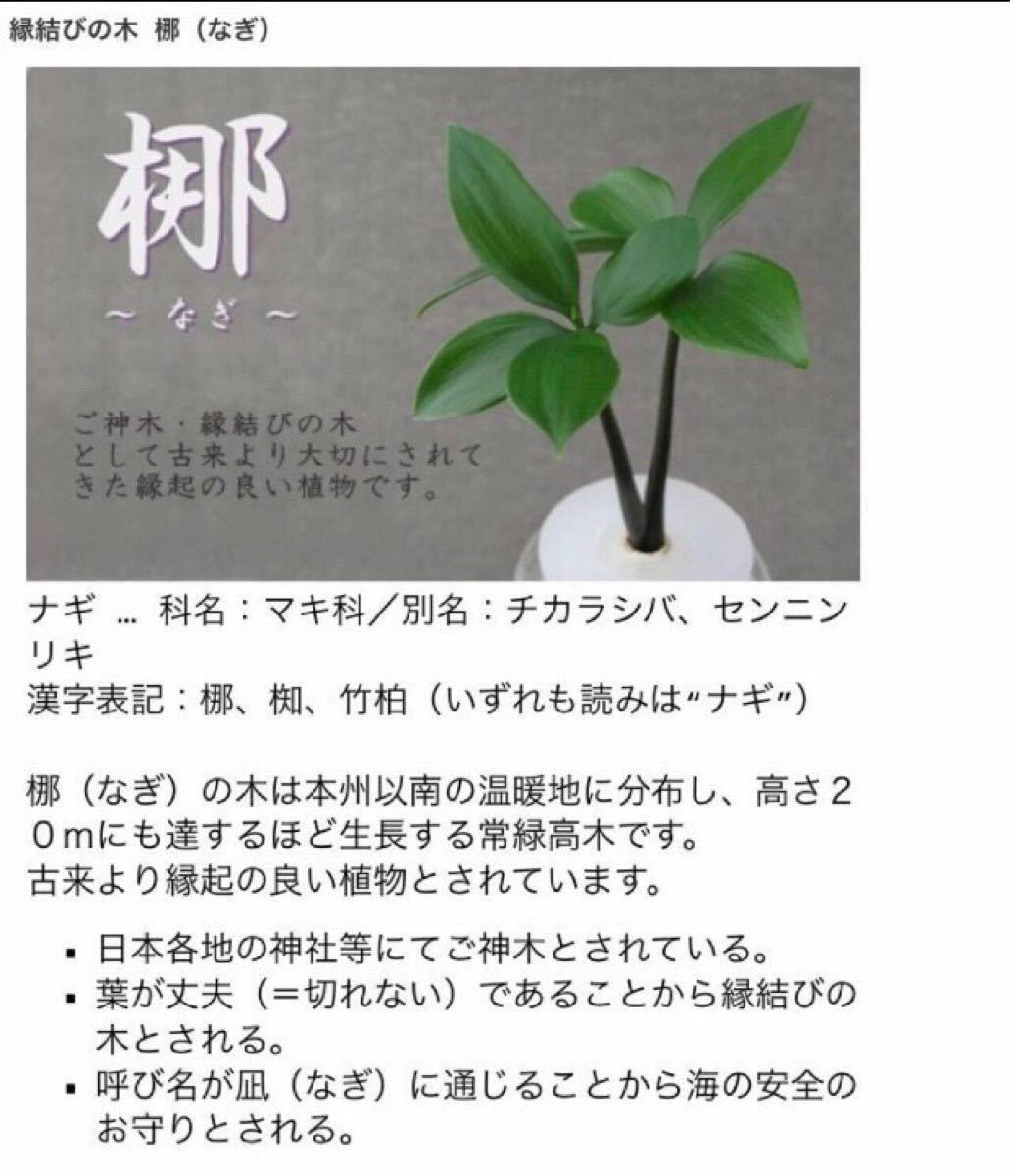 【28】全ての苦難を『なぎ払う』神が宿る木 ナギ 梛の木 美濃焼鉢ピンク