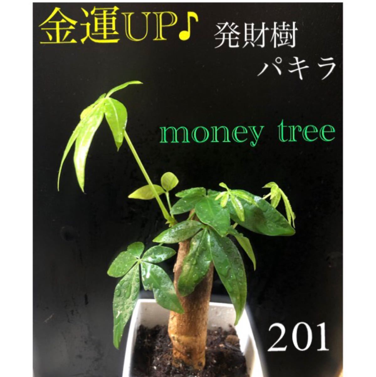 【201】金運UP  発財樹 パキラ 太幹 抜き苗 色鮮やかな新芽たくさん