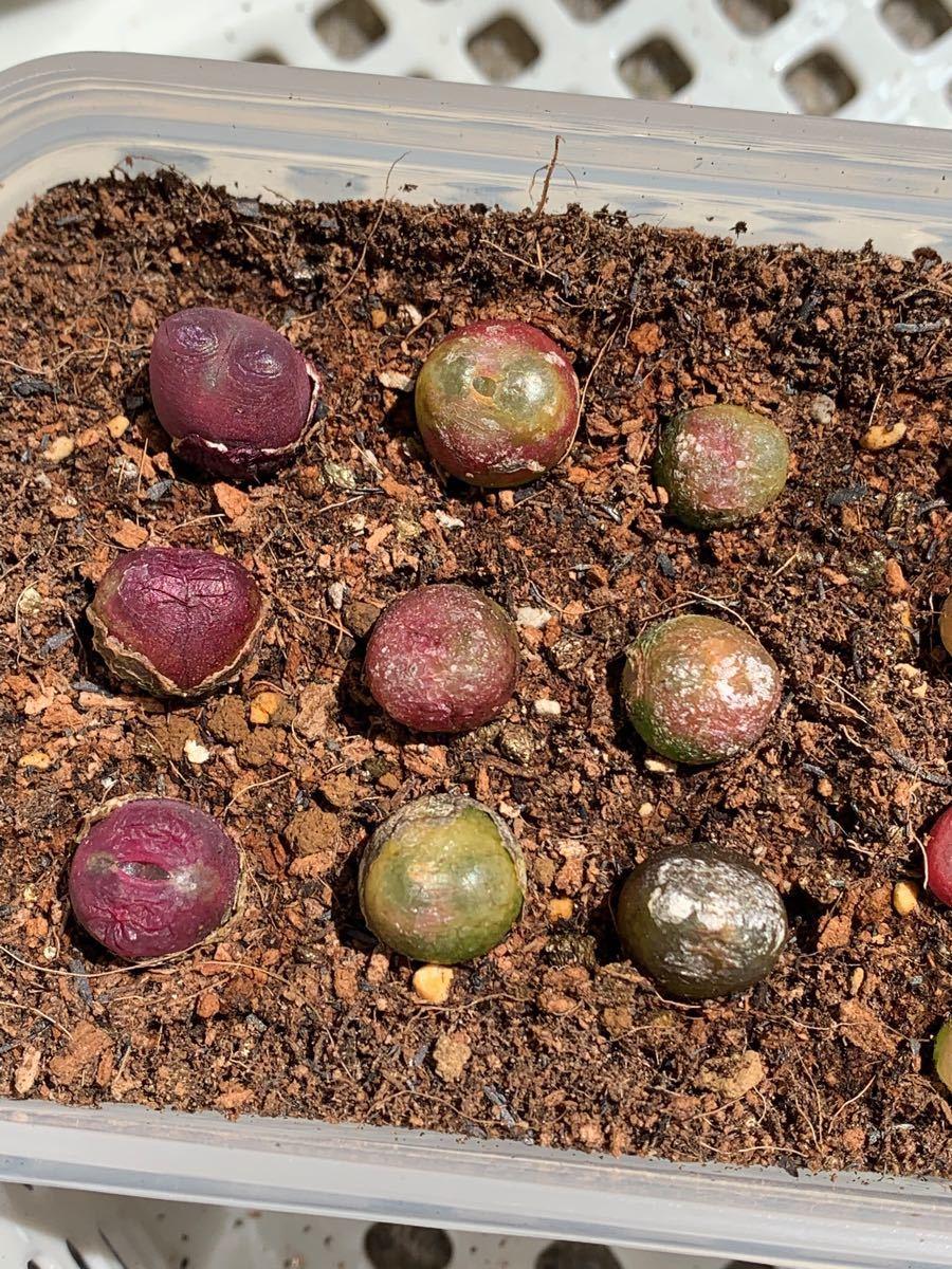 コノフィツム マウガニー conophytum maughanii ルビー