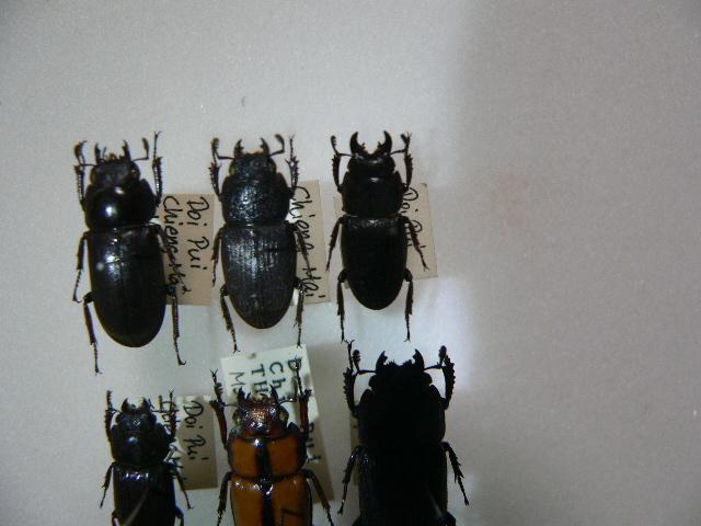 10 小型クワガタムシ類6頭 タイ北部産 標本 昆虫 甲虫_画像3
