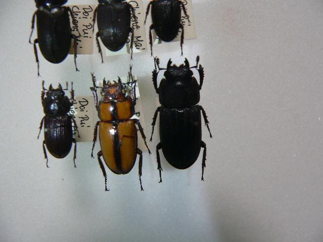 10 小型クワガタムシ類6頭 タイ北部産 標本 昆虫 甲虫_画像5
