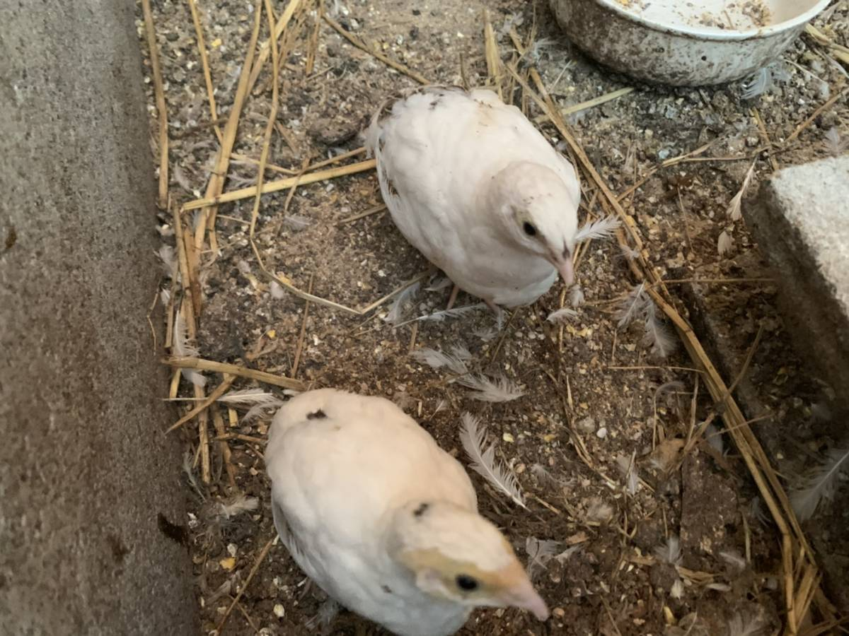 ホワイトウズラ 有精卵 9個+割れ保証1個   16_画像3