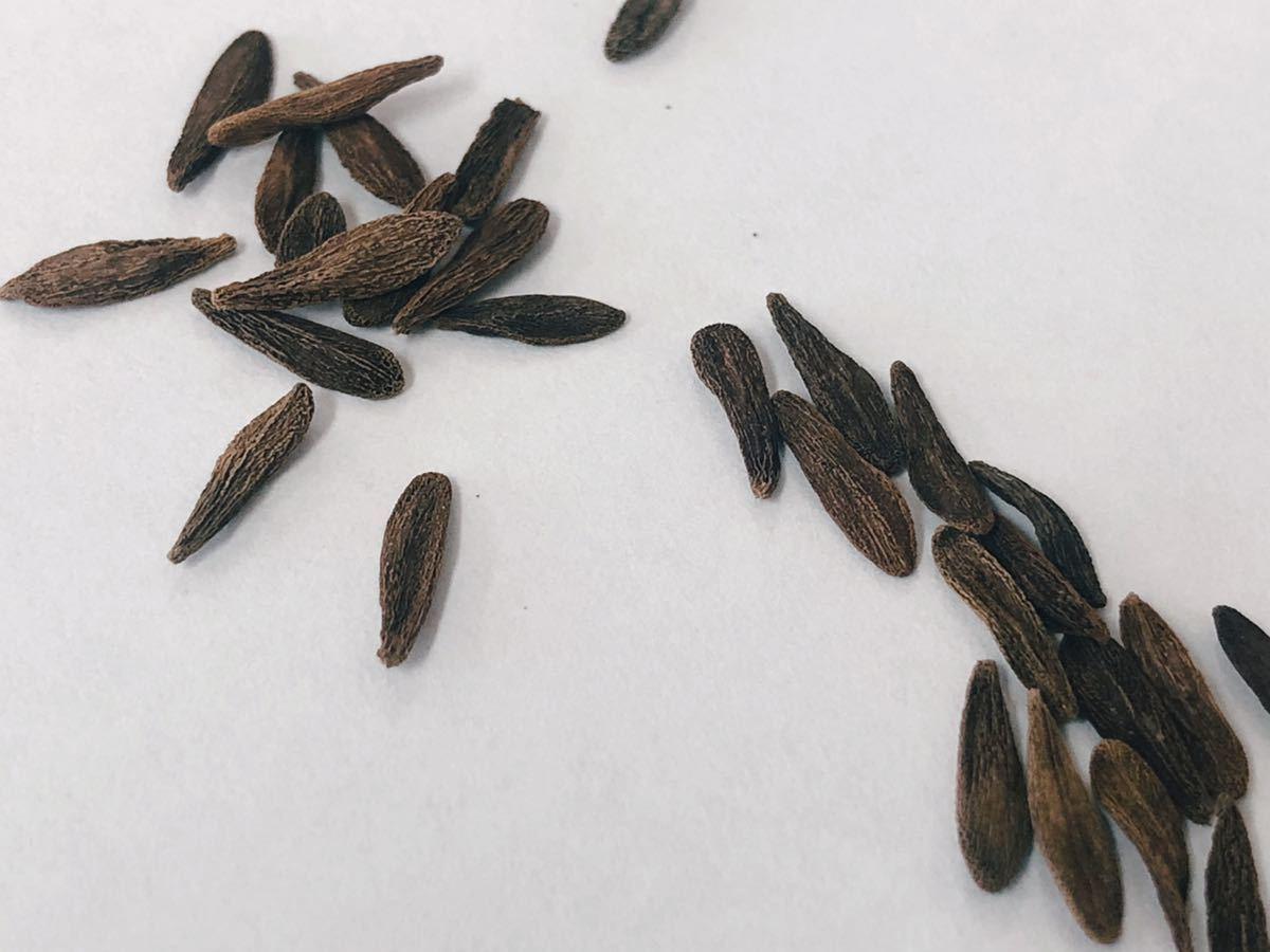 Pachypodium Ambongense パキポディウム アンボンゲンセ 種子5粒(検索コピアポア グラキリス ウィンゾリー 黒王丸 パキプス)_画像2