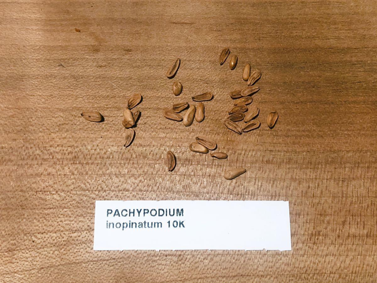 Pachypodium Inopinatum パキポディウム イノピナツム 種子10粒(検索コピアポア グラキリス ウィンゾリー 黒王丸 パキプス)_画像1