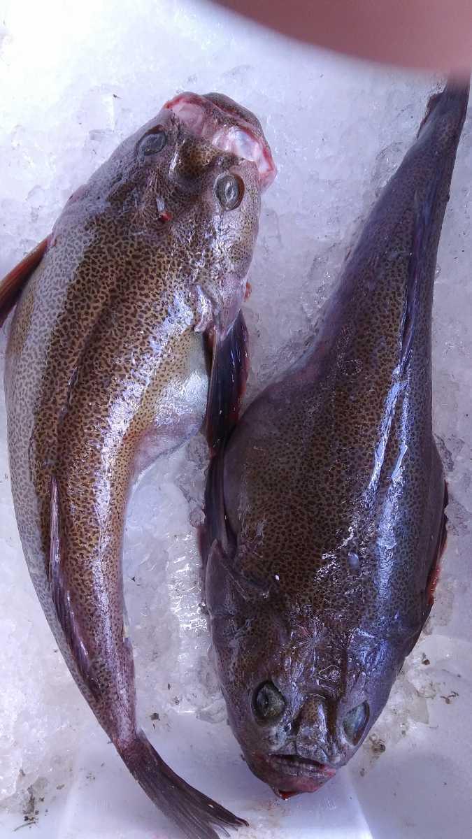 (魚)ミシマオコゼ55~60cm1匹980円即決_画像1