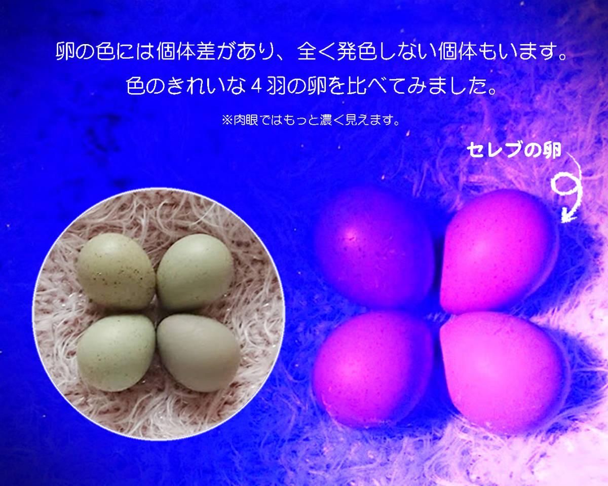 【動画見てね!】見惚れる美しさ!!◆ ヒメウズラ 有精卵【蛍光カラー】セレブ×2個 他×2個 ◆◆ 合計4個 ◆◆《生物蛍光》Bioluminescence_画像4