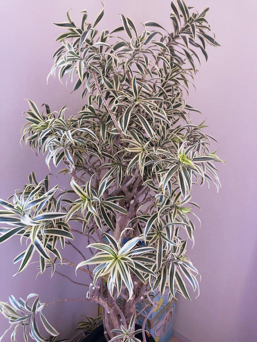 観葉植物 ソングオブインディア スタイリッシュ鉢植え