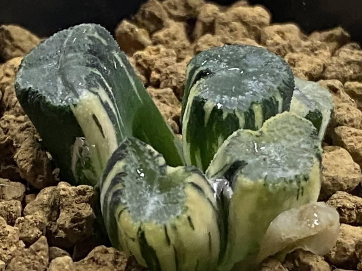 多肉植物 ハオルシア M.S系万象錦① _画像1