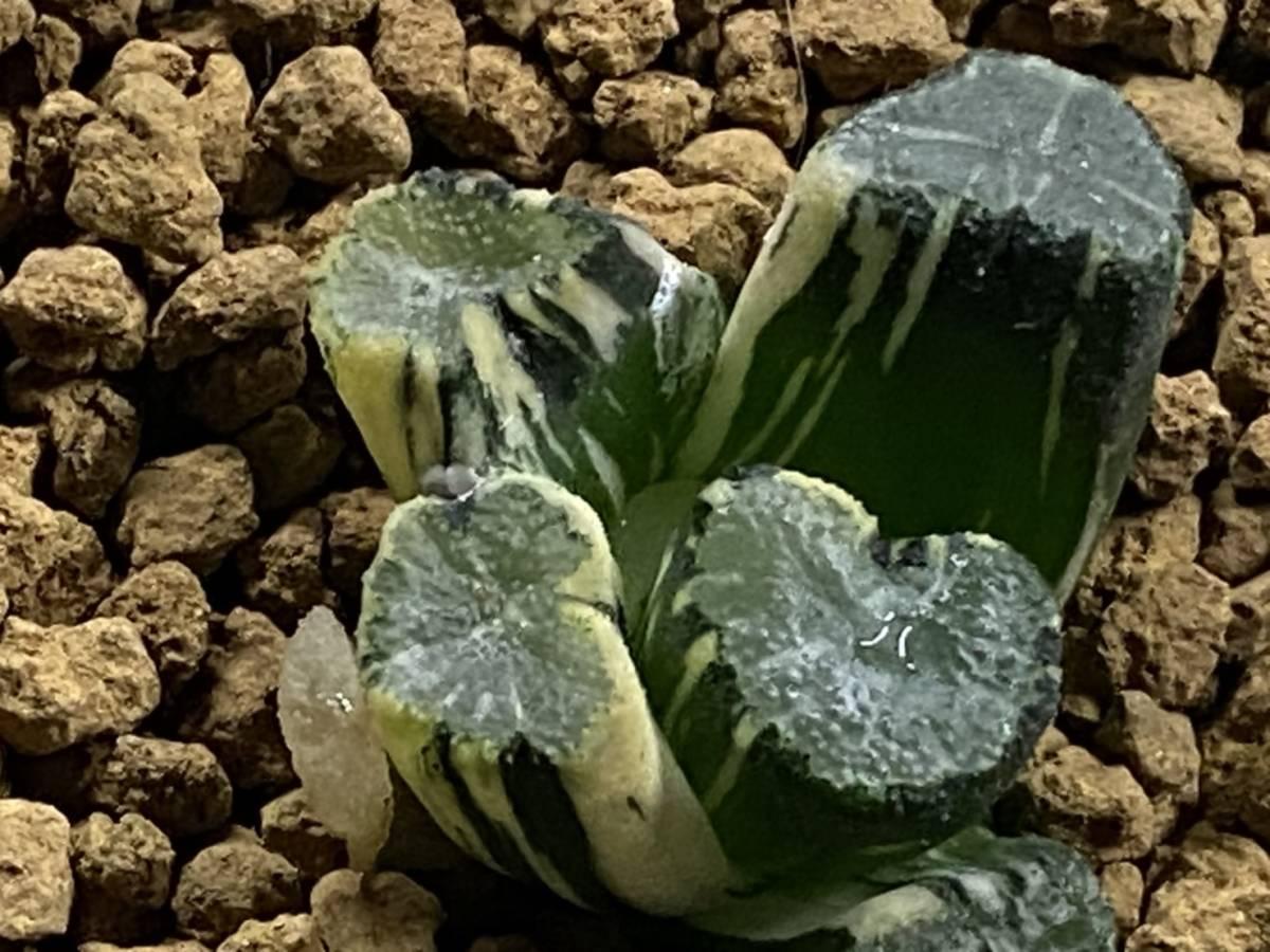 多肉植物 ハオルシア M.S系万象錦① _画像2
