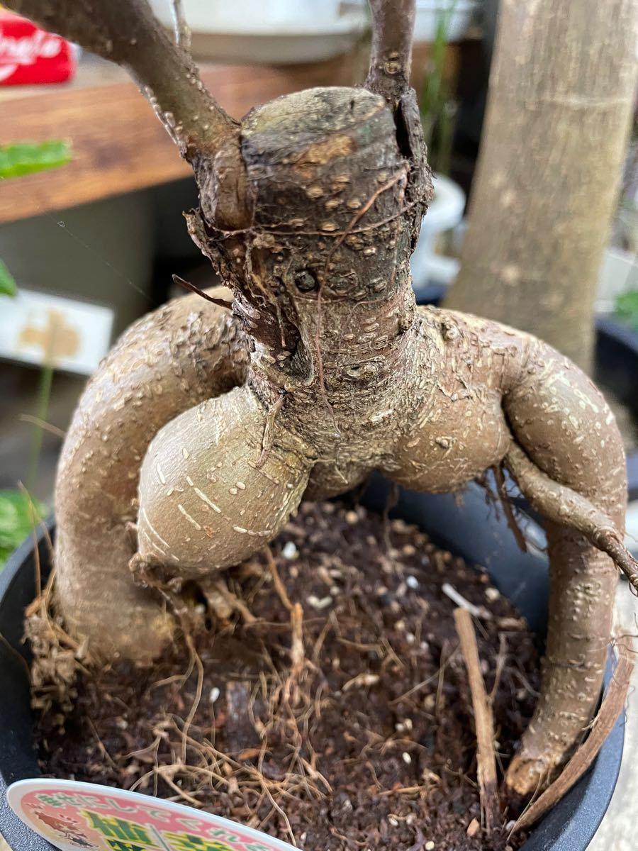 5寸*ガジュマル*観葉植物インテリアグリーン
