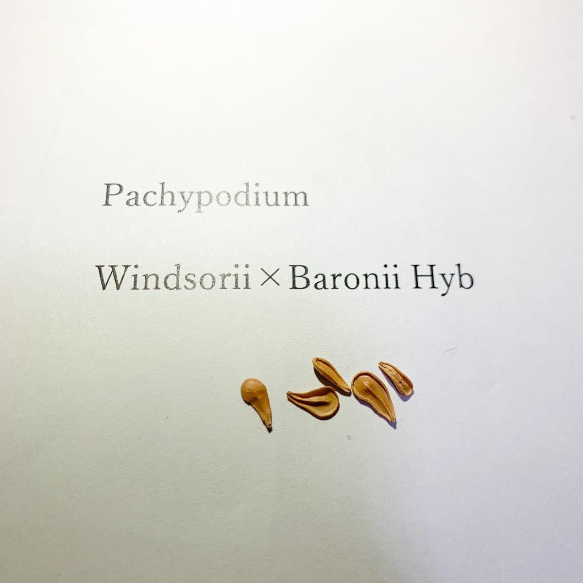 パキポディウム ウィンゾリーXバロニー 交配種 種子 5粒 Pachypodium windsorii x baronii コーデックス 塊根