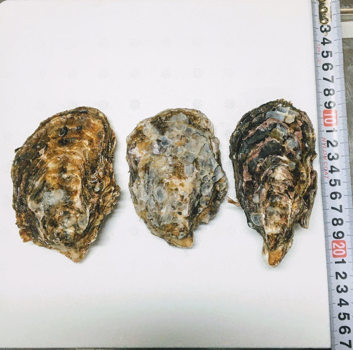 広島県産 殻付き牡蠣 38~40個 加熱用 カンカン焼き 産地直送 海のミルク 真牡蠣 送料無料 在庫一掃SALE_画像2