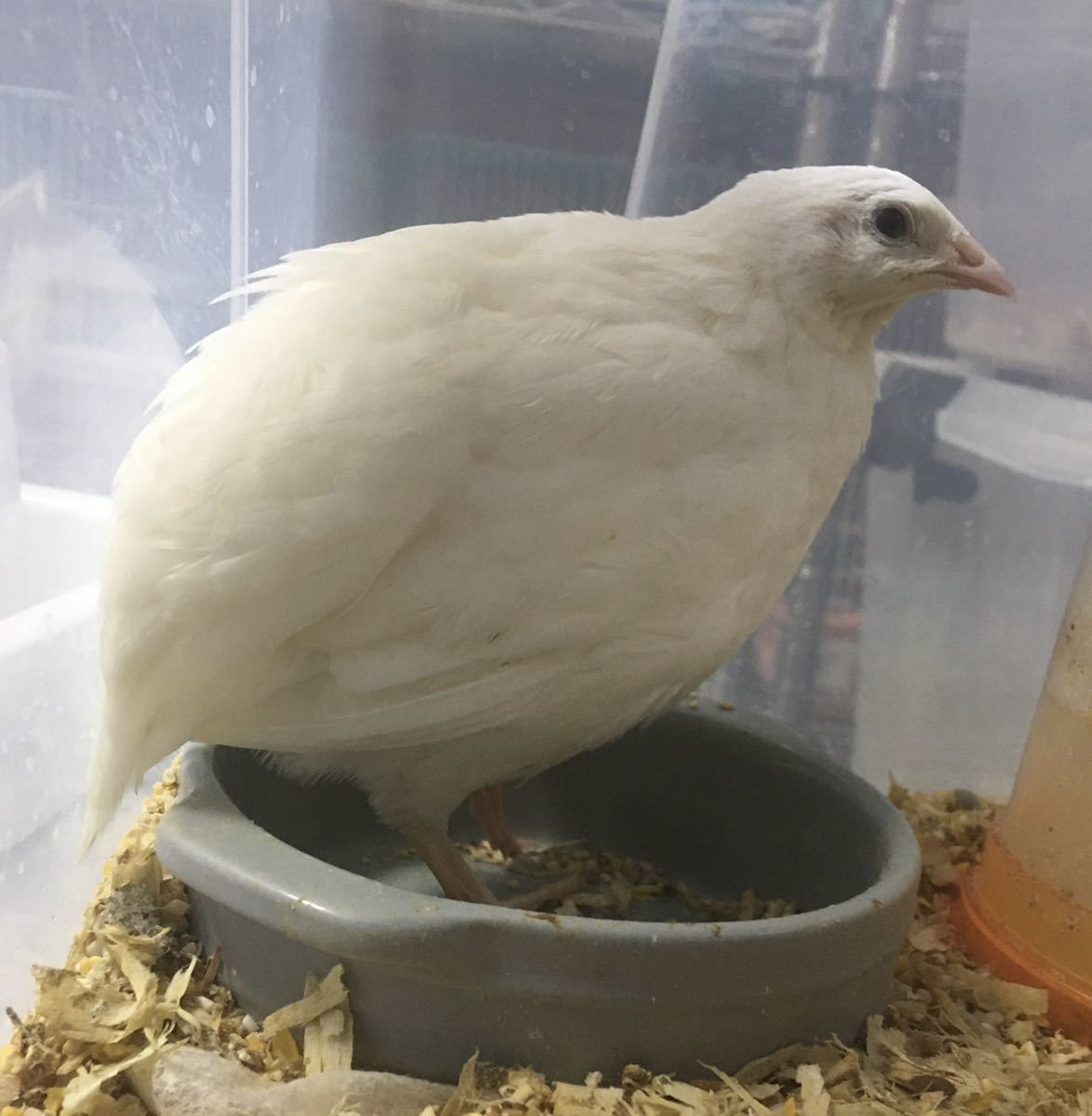ジャンボ白うずら 有精卵 白10個 並うずら ウズラ 種卵 卵_画像2